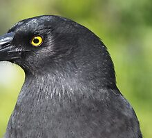 Eye of the Currawong by shortshooter-Al