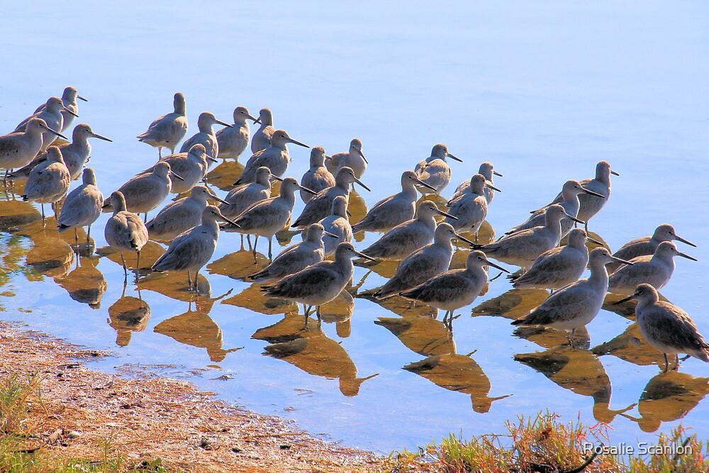 Dunlin Gathering by Rosalie Scanlon