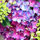 Hydrangea Undecided by Asoka
