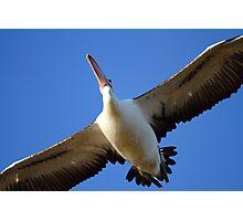 """""""Pelican Overhead"""" Photographic Print"""