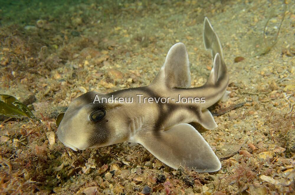 Juvenile Port Jackson Shark - Heterodontus portusjacksoni by Andrew Trevor-Jones