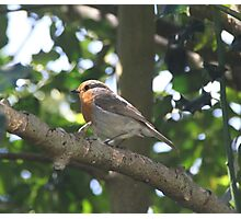 ROBIN IN HOLLY TREE  Photographic Print