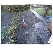 Dads pet Pheasant Poster