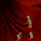 Red Amarillis by Nicole W.