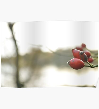 Red Berries at Christmas Poster
