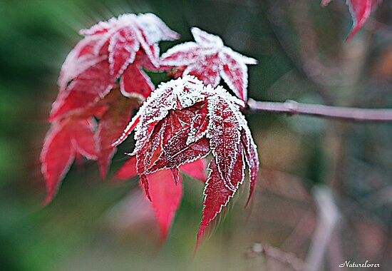 Maple Icing by naturelover