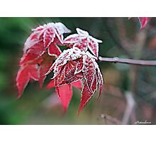 Maple Icing Photographic Print