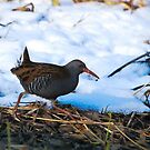 water rail and snow by Steve Shand