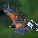 Harris Hawk by Delboy10