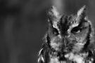 B&W of Eastern Screech Owl by NatureGreeting Cards ©ccwri
