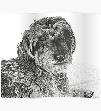 Schnell, Wire Haired Dachschund (cropped edge) Poster