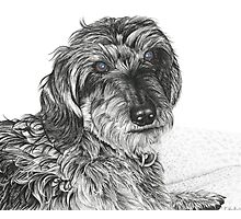 Schnell, Wire Haired Dachschund (cropped edge) Photographic Print