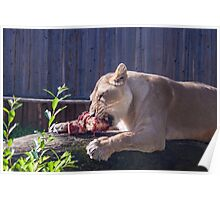 Female lion eating fresh red meat Poster