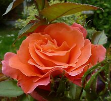 Orange Rose by Vicki Spindler (VHS Photography)