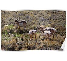 Pronghorn and His Harem Poster