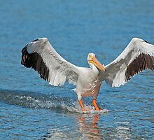 Pelican Coming in for the Landing by Bonnie T.  Barry