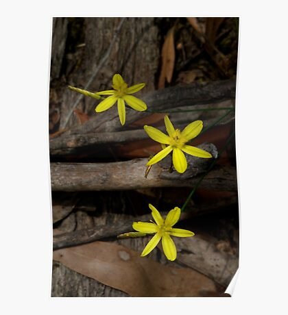 Yellow Rush Lilies Poster