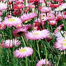 Paper Daisies by Fizzgig7