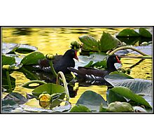 Gallinules on Golden Pond Photographic Print