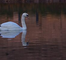White Swan  by m7mdfr