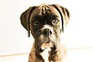 The Meaning Of Life - You AsK? - Boxer Dogs Series by Evita