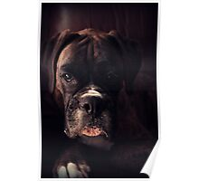 Portrait Of A Female Boxer - Boxer Dogs Series Poster