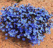 Blue Leschenaultia by Brian Hadwin