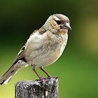 Sparrow by srhayward