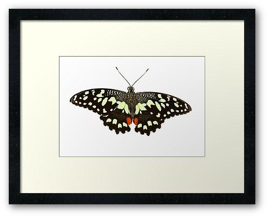 Lime Swallowtail by neil harrison