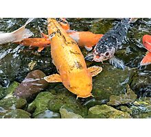 Koi Carp fish Photographic Print
