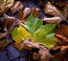 autumn leaves by Joana Kruse