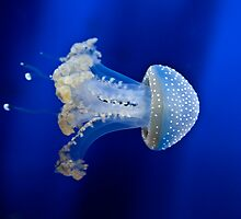 jellyfish by Joana Kruse