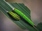 Caterpillar and pupa by jimmy hoffman