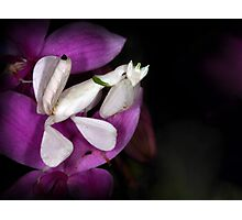 Orchid mantis Photographic Print