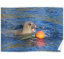 Elephant Seal Marlo Vic. Australia Poster