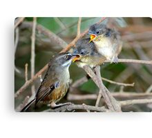 White - Browed Scrubwrens Marlo.Vic. Canvas Print