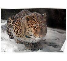 An Asian Amur Leopard in Canada Poster