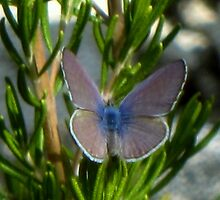 El Segundo Blue Butterfly by jsmusic