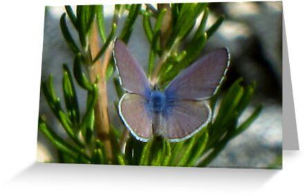 El Segundo Blue Butterfly by jsmusic