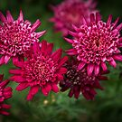 Red Astrantia flowers Leith Park Victoria 201510300535 by Fred Mitchell