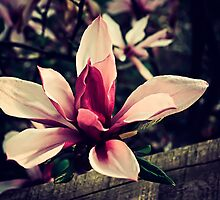 magnolia by Stephanie Aughenbaugh