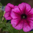 Red petunia flower Leith Park 201511020539  by Fred Mitchell