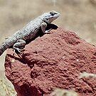 Skink, Lake Powell, Arizona, USA by Adrian Paul