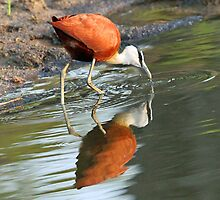 African Jacana reflections by jozi1
