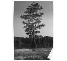 Cypress at Mayes Lake Poster