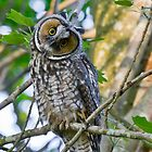 Curious Juvenile Long-eared Owl by Tom Talbott