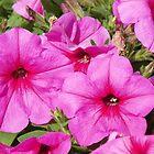 Pink Petunias by alamarmie