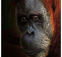Orangutan upclose by Dennis Stewart