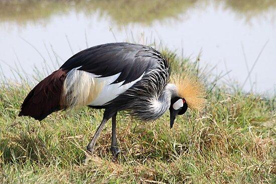Grey Crowned Crane Feeding by Carole-Anne