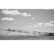 Cattle on Curry Flat. Photographic Print